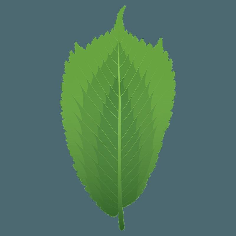 Wych elm spring leaf clipart