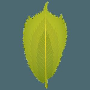 Wych elm summer leaf clipart