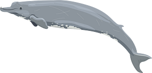 Baird's beaked whale кліпарт