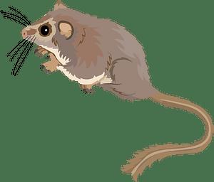 Feathertail glider кліпарт