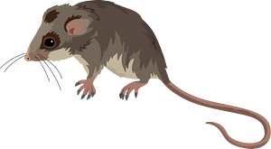 Mountain pygmy possum кліпарт