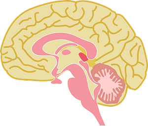 Brain Organ clipart