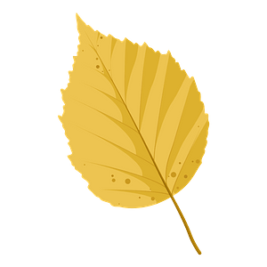 Paper birch autumn leaf clipart