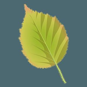Paper birch leaf clipart