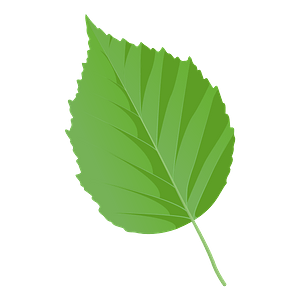 Paper birch spring leaf clipart