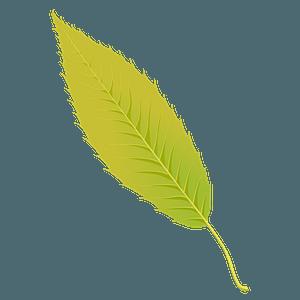 Sawtooth oak summer leaf clipart