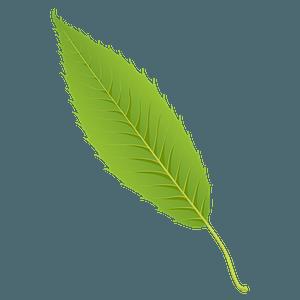 Sawtooth oak spring leaf clipart