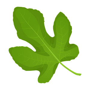 Common fig spring leaf clipart