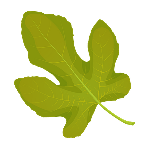 Common fig summer leaf clipart