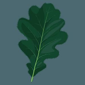 English oak summer leaf clipart