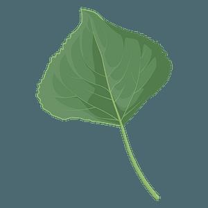 Lombardy poplar summer leaf clipart