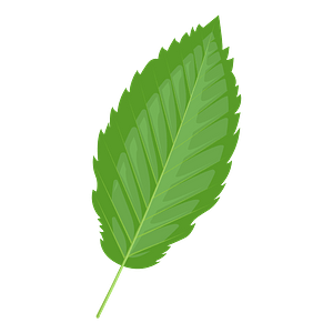 Red alder summer leaf clipart