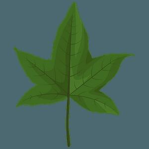 Sweetgum green leaf clipart