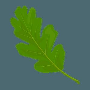 Valley oak spring leaf clipart