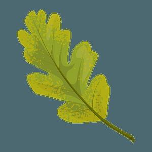 Valley oak summer leaf clipart