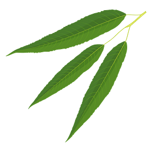 White willow summer leaf clipart