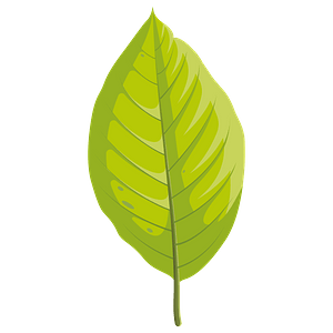 Cucumber tree summer leaf clipart