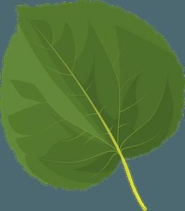 Katsura tree summer leaf clipart