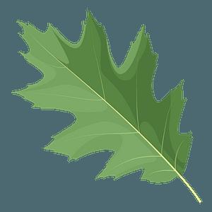 Northern red oak green leaf clipart