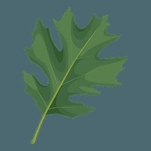 Shumard oak summer leaf clipart
