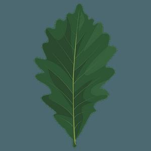 Swamp white oak summer leaf clipart