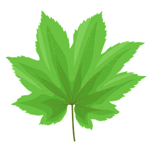 Vine maple green leaf clipart