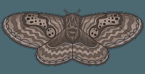 Brahmeid Moth clipart