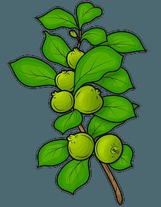 Guavas clipart