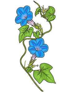 Ivy leaved morning glory (1818) clipart