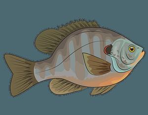 Redear Sunfish clipart