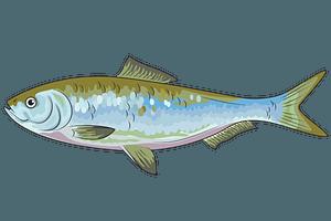 Skipjack Shad Herring (Alosa Chrysochloris) clipart