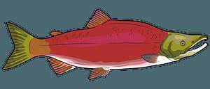 Sockeye Red Salmon clipart