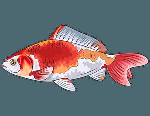 Wakin Goldfish clipart