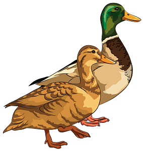 Male and Female Mallard Ducks clipart