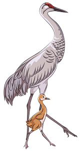 Sandhill crane with chick clipart