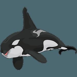 Killer Whale clipart