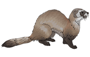Black-footed Ferret clipart