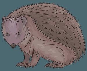 European hedgehog clipart