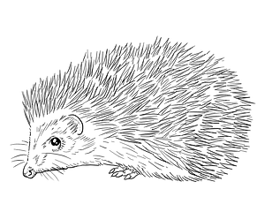 Southern white-breasted hedgehog clipart