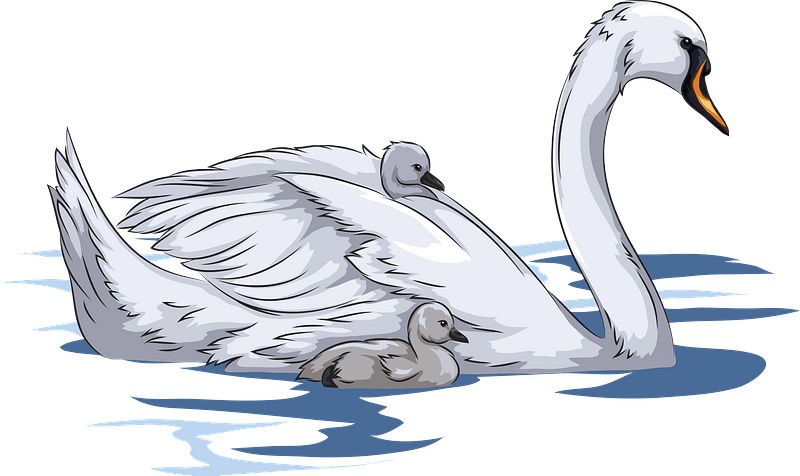 Mute Swan with Cygnets clipart