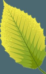 American beech autumn leaf clipart