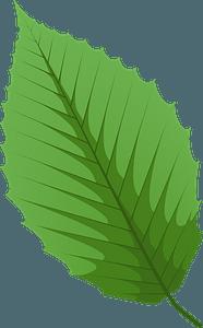 American beech green leaf clipart