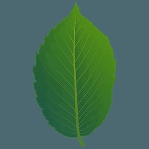American elm spring leaf clipart