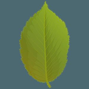 American elm summer leaf clipart