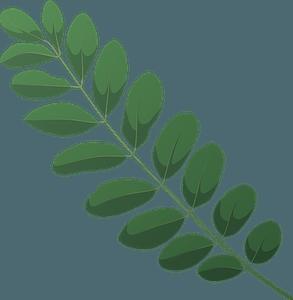 Black locust spring leaf clipart