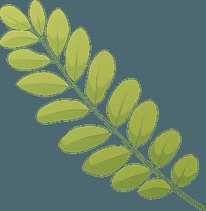 Black locust summer leaf clipart