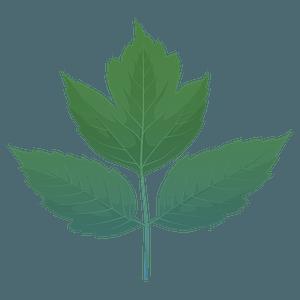 Box elder spring leaf clipart