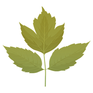 Box elder summer leaf clipart