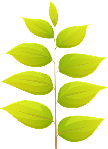 Kentucky coffeetree summer leaf clipart