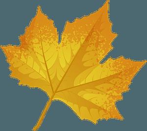 London plane tree late autumn leaf clipart